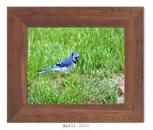 Blue Jay -- April 2010