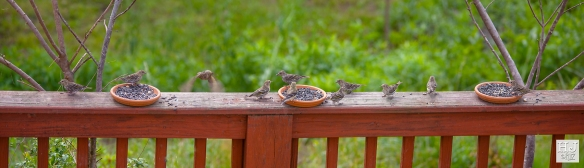 Pine Siskins --- Click on image to see enlargement ---
