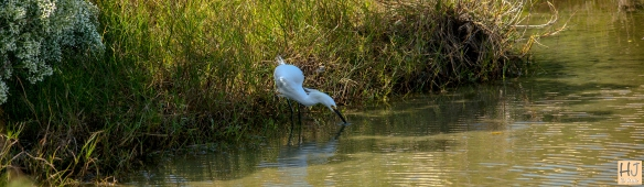 Snowy Egret --- Click on image to see enlargement ---