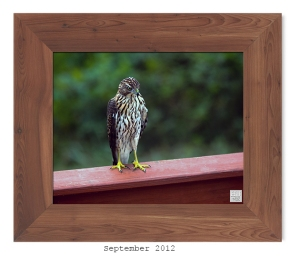 Cooper's Hawk -- Sept. 2012