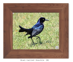 Boat-tailed Grackle -- Apr. 2010