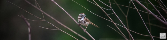 Song Sparrow --- Click on image to see enlargement ---