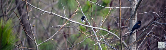 --- Eastern Towhee (M) and Red-winged Blackbird (M) --- Click on image to see enlargement --