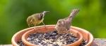 Female and female House Finch
