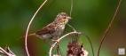Savannah Sparrow Juvenile 1 of 2