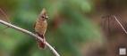 Northern Cardinal (F) Juvenile 1 of 2