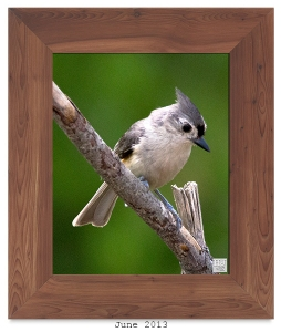 Tufted Titmouse -- Jun. 2013 --