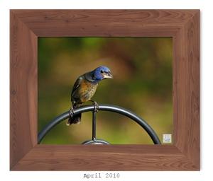 Blue Grosbeak (Juvenile) - April 2010