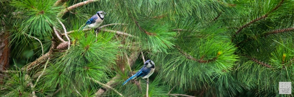 Blue Jays --- Click on image to see enlargement ---