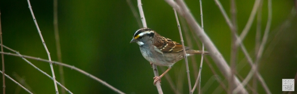 White-throated Sparrow --- Click on image to see enlargement ---