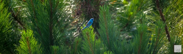 Indigo Bunting --- Click on image to see enlargement ---
