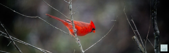 Northern Cardinal (M) --- Click on image to see enlargement---
