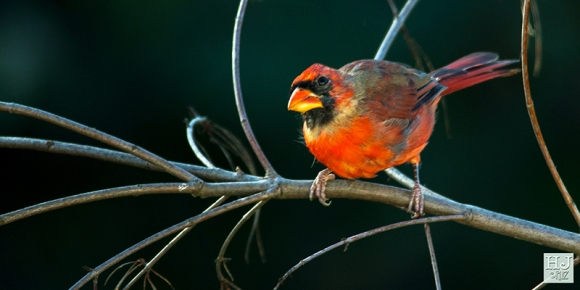 Northern Cardinal (M) (Molting)