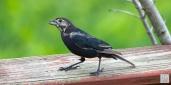 Brown-headed Cowbird (M) (Molting)