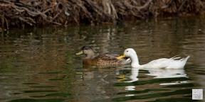 Mallard and Pekin duck