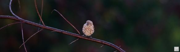 House Finch (J) ---Click on image to see enlargement---