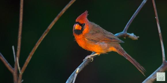 Northern Cardinal (M)