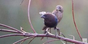 Brown-headed Cowbirds (M&F)