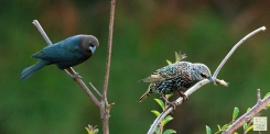 Brown-headed Cowbird (M) & European Starling