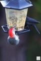 Red-bellied Woodpecker & Brown-headed Cowbird