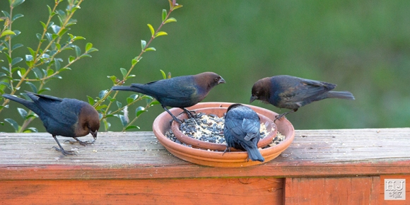 Brown-headed Cowbirds (M)