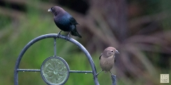 Brown-headed Cowbirds (M & F)
