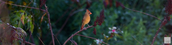 Northern Cardinal (F) --- Click on image to see enlargement