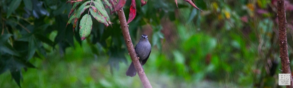 Gray Catbird --- Click on image to see enlargement ---