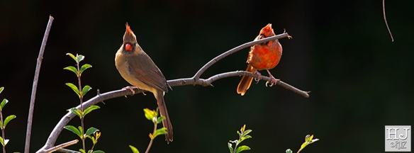 Northern Cardinals (F-M) ---Click on image to see enlargement ---