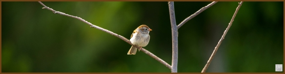 Field Sparrow ---Click on image to see enlargement ---