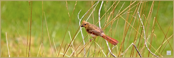 Northern Cardinal ---Click on image to see enlargement ---
