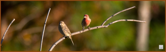 House Finches (F&M) ---Click on image to see enlargement