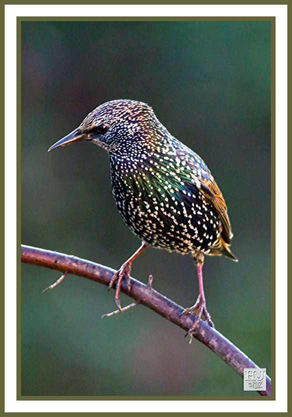 EUROPEAN STARLING -- STURDUS BULGARIS