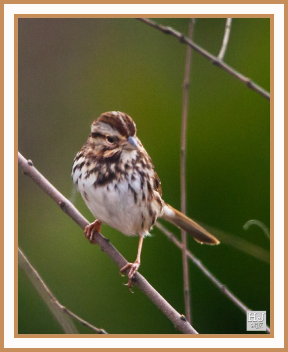 SONG SPARROW --- MELOSPIZA MELODIA