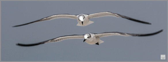Franklin's Gulls ---Click on image to see enlargement ---