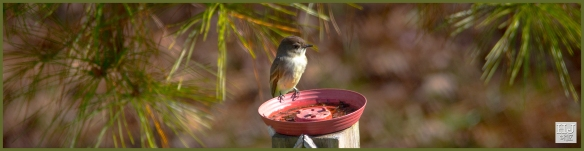 Eastern Phoebe ---Click on image to see enlargement ---