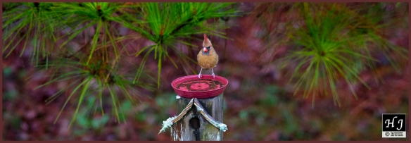 Northern Cardinal (F) ---Click on image to see enlargement ---