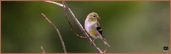American Goldfinch ---Click on image to see enlargement---