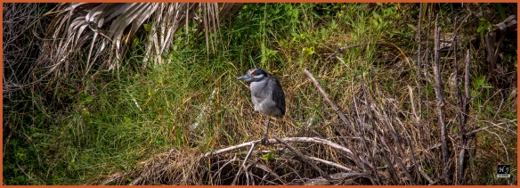 Yellow-crowned Night Heron ---Click on image to see enlargement ---