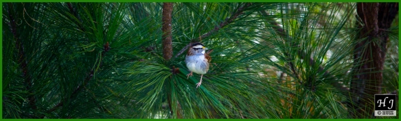 White-throated Sparrow ---Click on image to see enlargement---