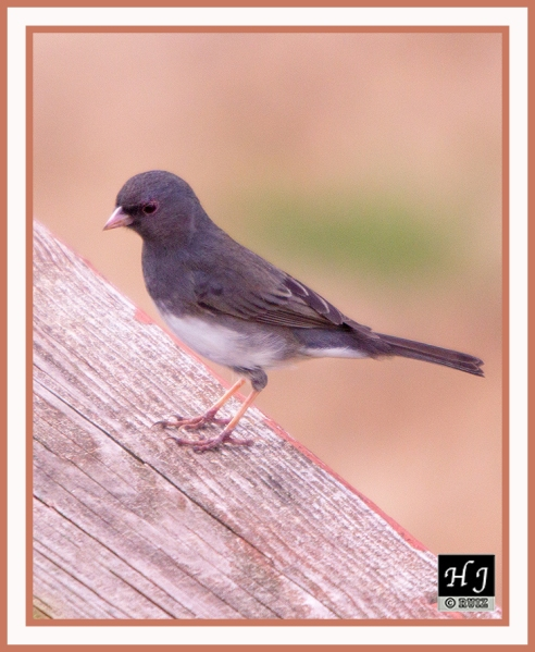 DARK-EYED JUNCO -- JUNCO HYEMALIS