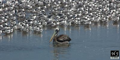 Sea birds in Peru