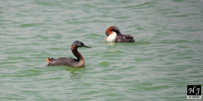 Great Grebes (Male and female)