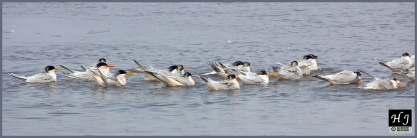 Royal Terns ---Click on image to enlarge image---