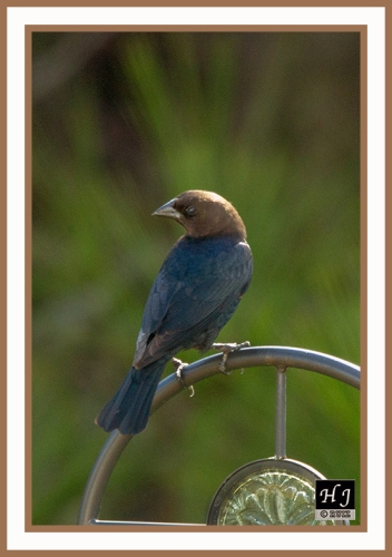 BROWN-HEADED COWBIRD (M) --MOLOTHRUS ATER