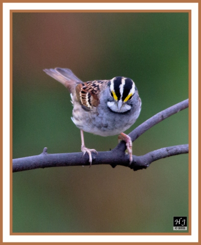 WHITE-THROATED SPARROW -- ZONOTRICHIA LEUCOPHRYS