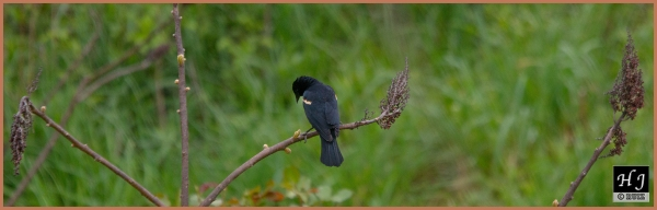 Red-winged Blackbird (M) ---Click for enlargement