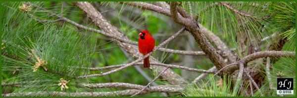 Northern Cardinal (M) ---Click for enlargement---