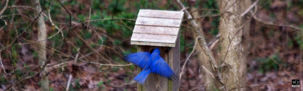 Eastern Bluebird ---Click to enlarge---