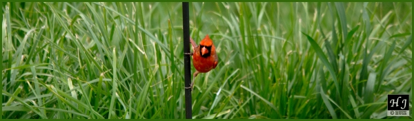 Northern Cardinal (Male) ---Click for enlargement ---